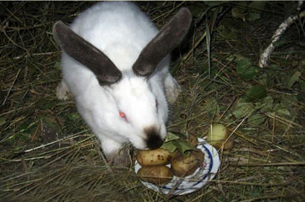 Картофель кролику