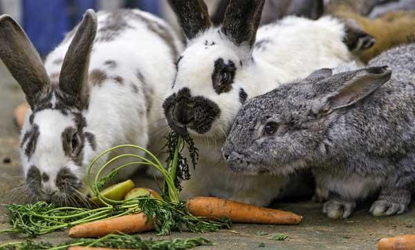 сочные корма кролику