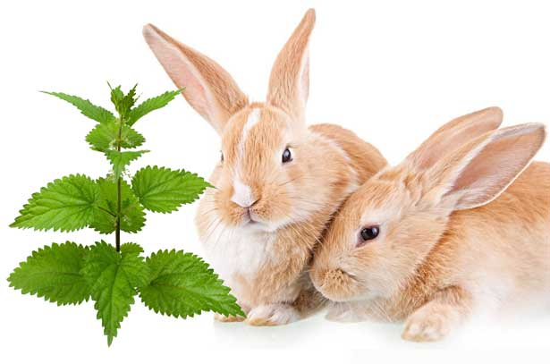 крапиву кроликам