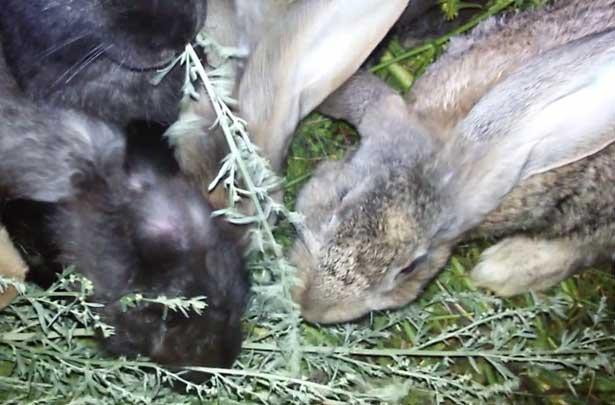 полынь в рационе кроликов