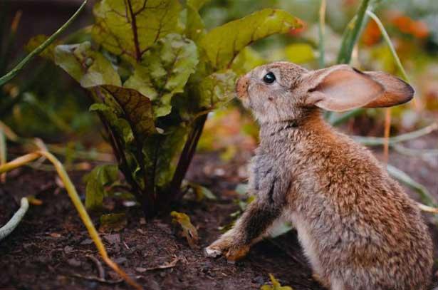 ботва свеклы кролику