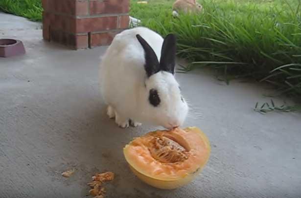 дыня кролику